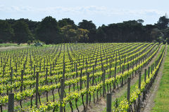 Vineyard in new season Royalty Free Stock Images
