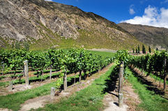 Vineyard in New Zealand Royalty Free Stock Photo