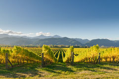 Vineyard in New Zealand royalty free stock image