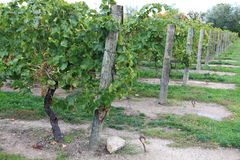 Vineyard in Niagara-on-the-lake, Ontario, Canada Stock Photos