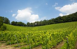 Vineyard in Nordrhein-Westfalen, Germany Stock Image