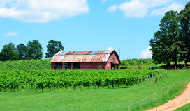 Vineyard in north Georgia, USA Royalty Free Stock Image