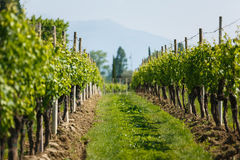 Vineyard in North Italy. Vineyard in a North Italy at summer time Royalty Free Stock Image