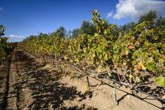 Vineyard.Sardinia. Royalty Free Stock Photos