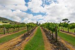 Vineyard in NSW, Australia Stock Image