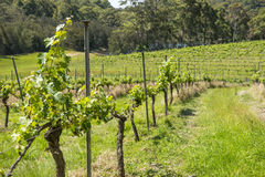 Vineyard in NSW Stock Photography