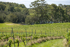 Vineyard in NSW Royalty Free Stock Photo