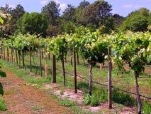 Vineyard Nursery Stock Photography