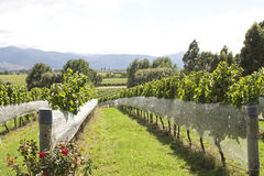Vineyard in NZ Stock Photos