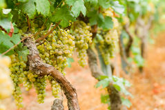 Vineyard in O Ribeiro, Spain Royalty Free Stock Images