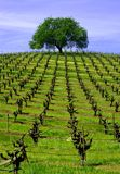 Vineyard Oak. Rows of pruned grapevines punctuated by a sentinel Oak Stock Photos