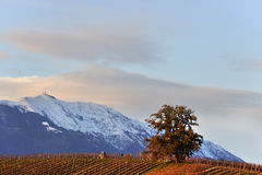 Vineyard and oak Stock Images