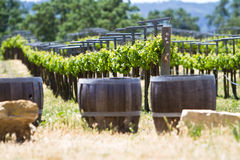 A vineyard with oak barrels Royalty Free Stock Images