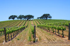Vineyard with Oak Trees Royalty Free Stock Photo