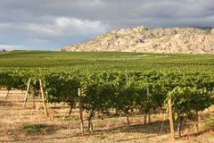 Vineyard, Okanagan Valley, British Columbia Royalty Free Stock Image
