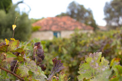 Vineyard with old farm house ruin in the Autumn Stock Photography