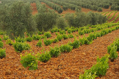 Vineyard in olive grove Royalty Free Stock Image