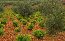 Vineyard in olive grove Royalty Free Stock Photo