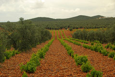 Vineyard in olive grove Stock Images