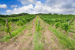 Vineyard and olive trees in Etna region Stock Images
