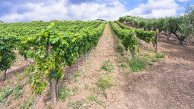 Vineyard and olive trees garden in Etna region Royalty Free Stock Photos