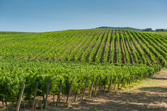 Vineyard in Orcia Valley, Tuscany Stock Image