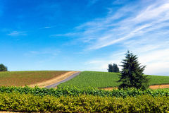 Vineyard in Oregon. Vineyard near Dundee in Oregon wine country Royalty Free Stock Photo