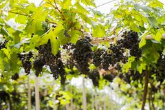 Vineyard with organic fresh grape for fruit and wine. Green fresh organic agriculture of grape for fruit and wine Industry royalty free stock image