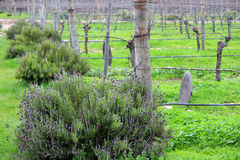 Romantic and organic vineyard in Chile Royalty Free Stock Photography
