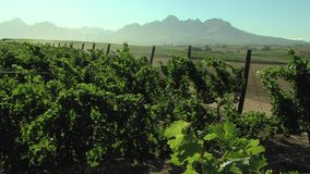 Vineyard outside cape town, south africa stock video