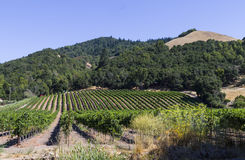 Vineyard. Outside Santa Rosa California Stock Image