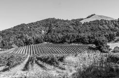 Vineyard outside Santa Rosa California bw. Rows of grape vines at a Vineyard outside Santa Rosa California in black and white Stock Photography