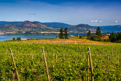 Vineyard overlooking lake and mountains Royalty Free Stock Photo