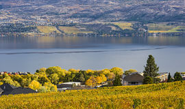 Vineyard Overlooking Okanagan Lake Kelowna BC Canada. Vineyard overlooking a subdivision Okanagan Lake Kelowna British Columbia Canada in the fall Stock Photos