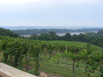Vineyard overlooking the river Royalty Free Stock Photo