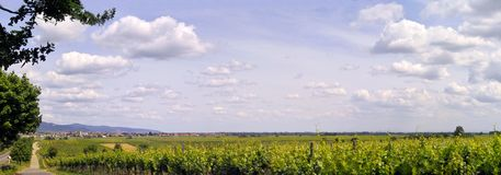 Vineyard pano. Panoramic shot of the vinefield Royalty Free Stock Photography