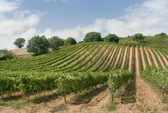 Vineyard panorama. Characteristic scene of an italian vineyard stock image