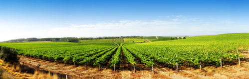 Vineyard Panorama Royalty Free Stock Images