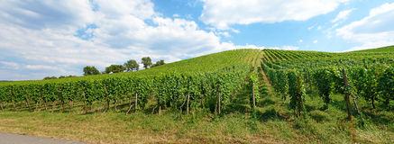 Vineyard panorama Stock Photography