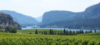 Vineyard Panorama. Blue Mountain Vineyard in the sunny okanagan valley of British Columbia, Canada stock photos