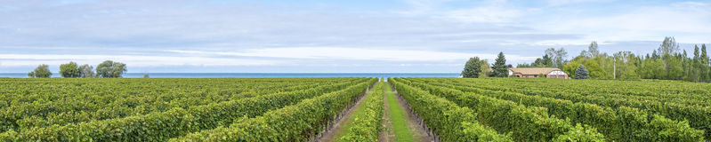Vineyard Panorama by Lake Ontario Royalty Free Stock Image