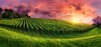 Vineyard panorama at magnificent sunset. Panorama landscape with a vineyard on a hill and the magnificent red sunset sky Stock Images