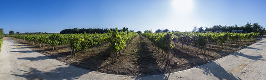 Vineyard panorama Stock Photo