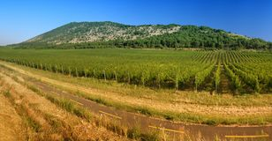 Vineyard in panorama view Royalty Free Stock Photography