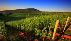 Vineyard in panorama view Stock Photos