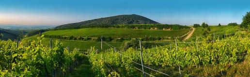 Vineyard in panorama view Royalty Free Stock Images