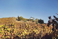 Vineyard. Panorama of vinery on a hill Stock Photos