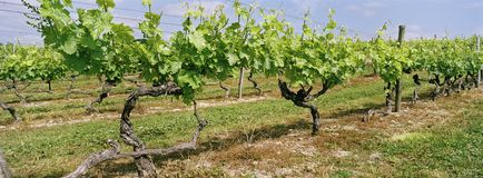 Vineyard Panoramic Cognac France Stock Image