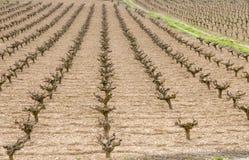 Vineyard Paphos Cyprus stock images