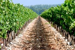 Vineyard Path. Grapevines without end Royalty Free Stock Image